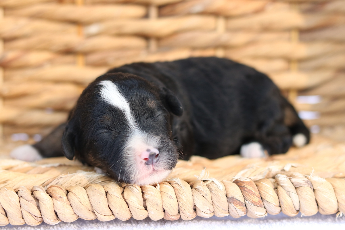 tri color mini bernedoodle puppies forsale