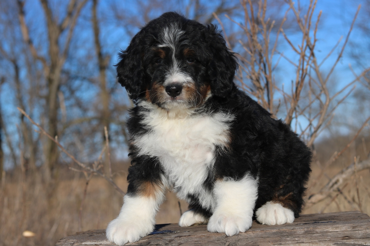 What does tri color bernedoodle look like