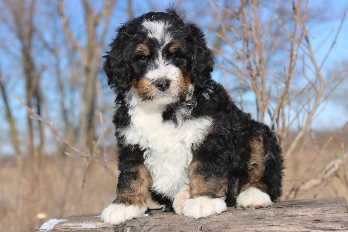 bernedoodle breeder photos