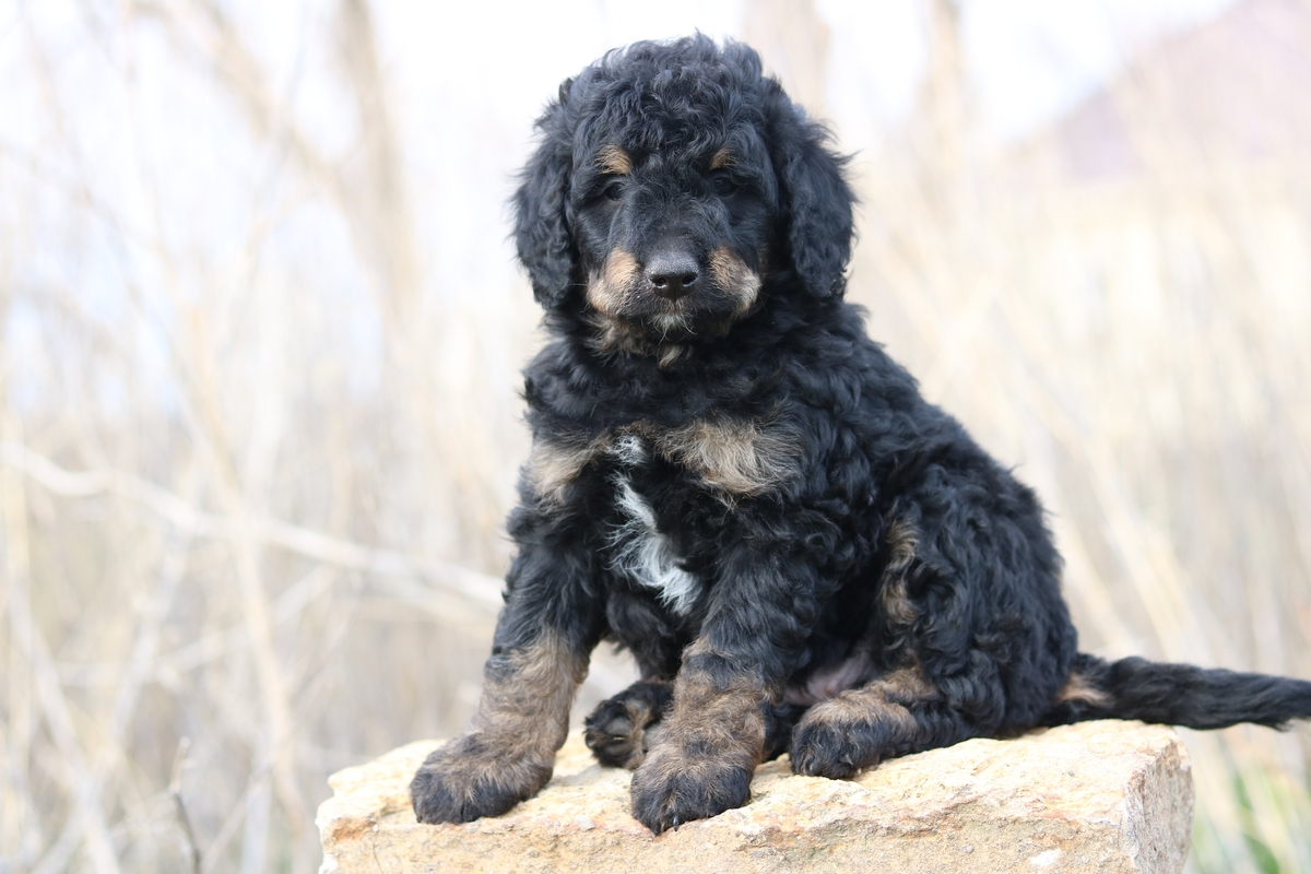 mini F1B Bernedoodle puppy available