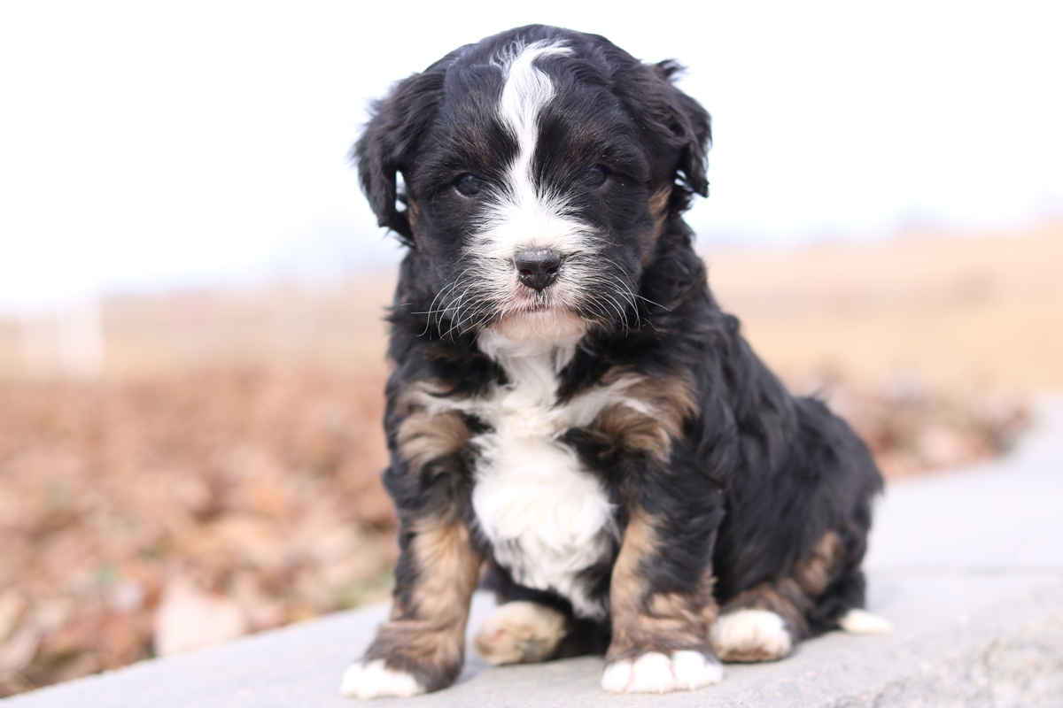 miniature bernedoodle puppy pictures