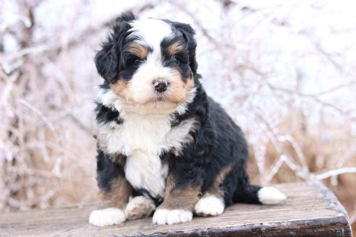 bernedoodle available
