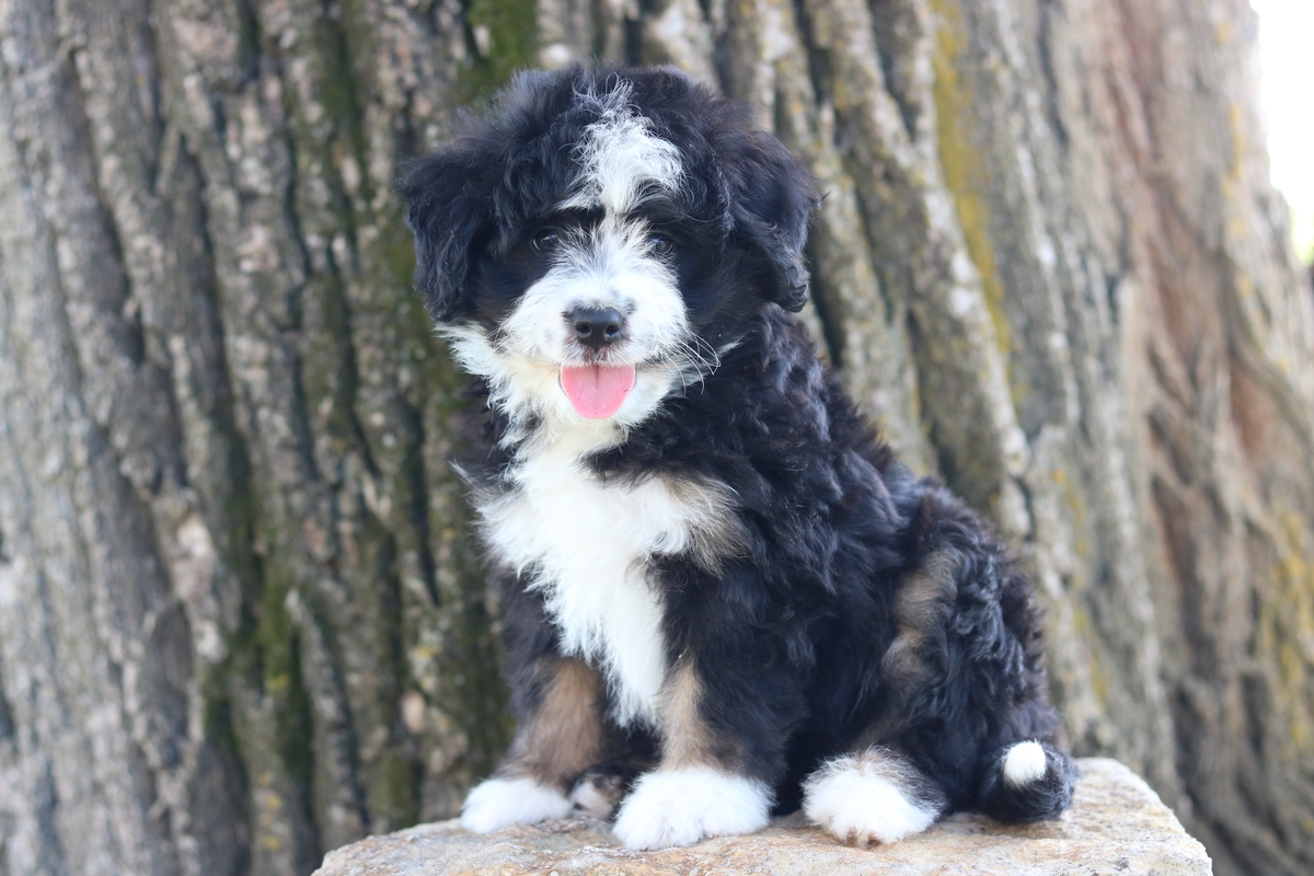 tri color mini bernedoodle pictures