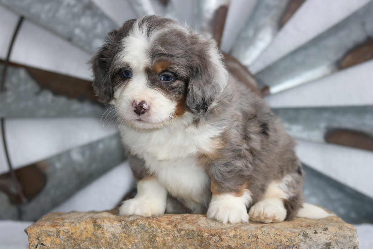 Merle bernedoodle puppy