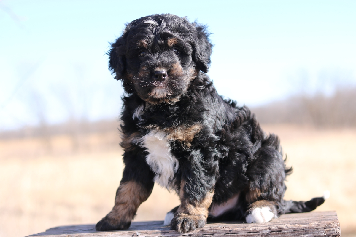F1 Mini Bernedoodle Male Elk Grove Village Illinois