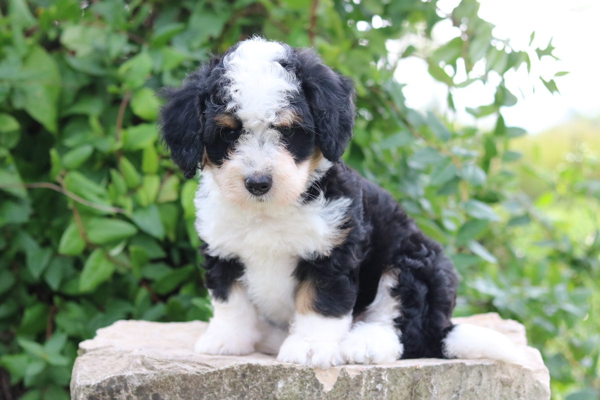 tri color mini bernedoodle available