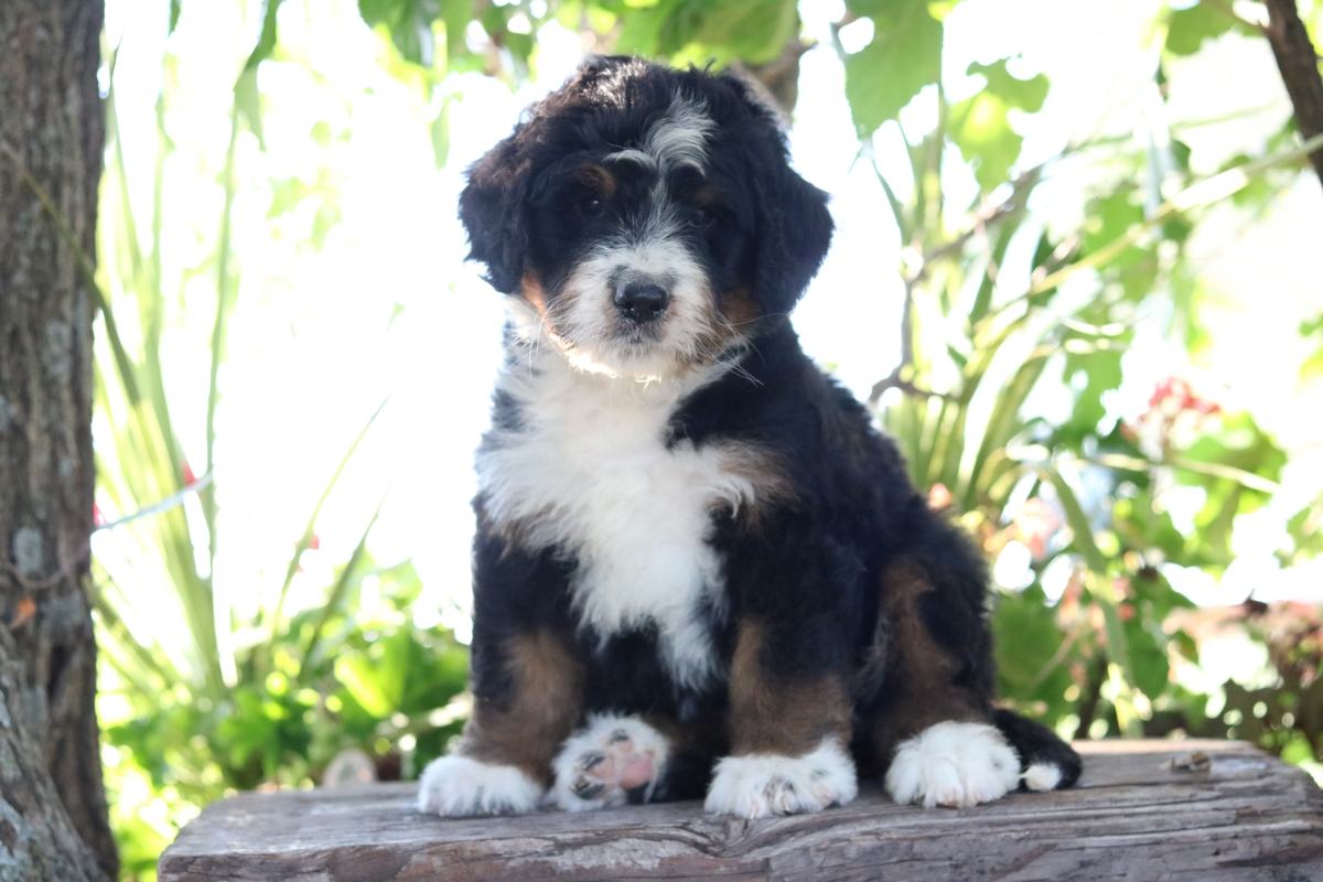 Bernese Mountain Dog - Poodle - Crossbreed Puppies