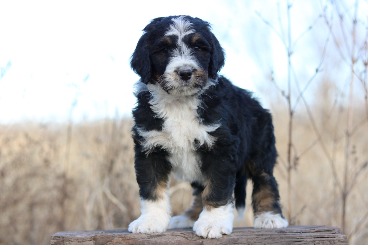 puppy pictures, Bernese Mountain Dog