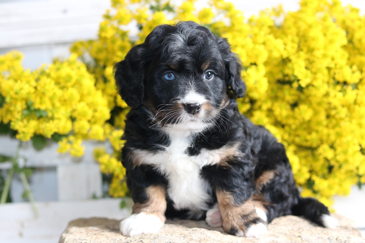 blue eye - tri color mini bernedoodle