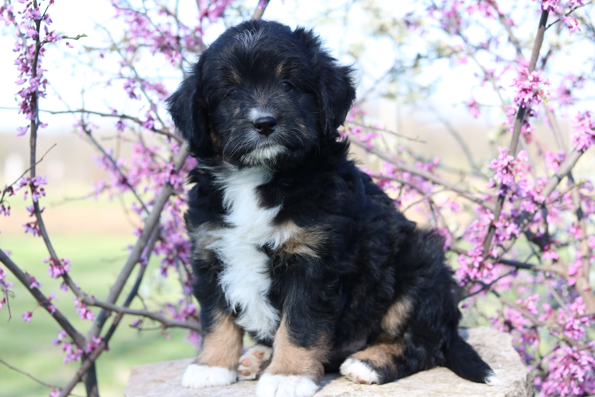Tri Color mini bernedoodle breeder