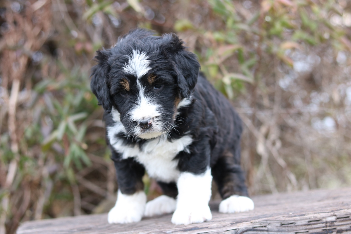 cute photos of bernedodle puppies