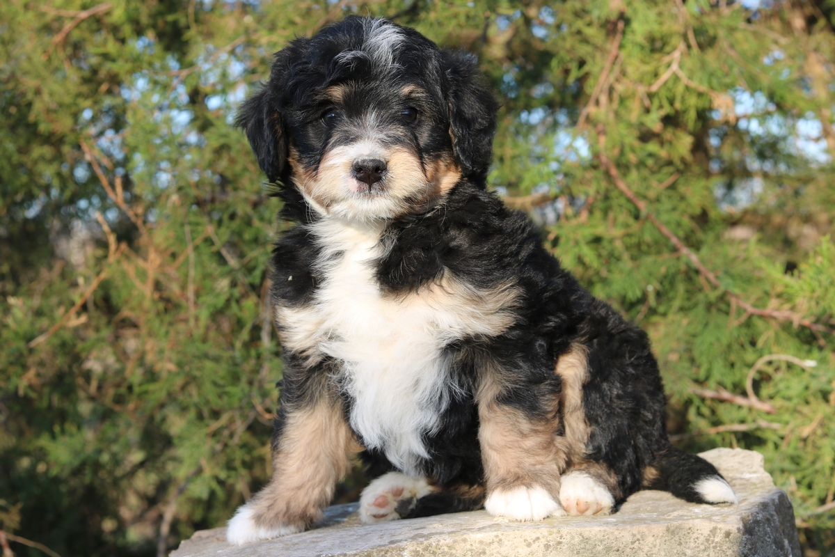 miniature bernedoodle , bi color