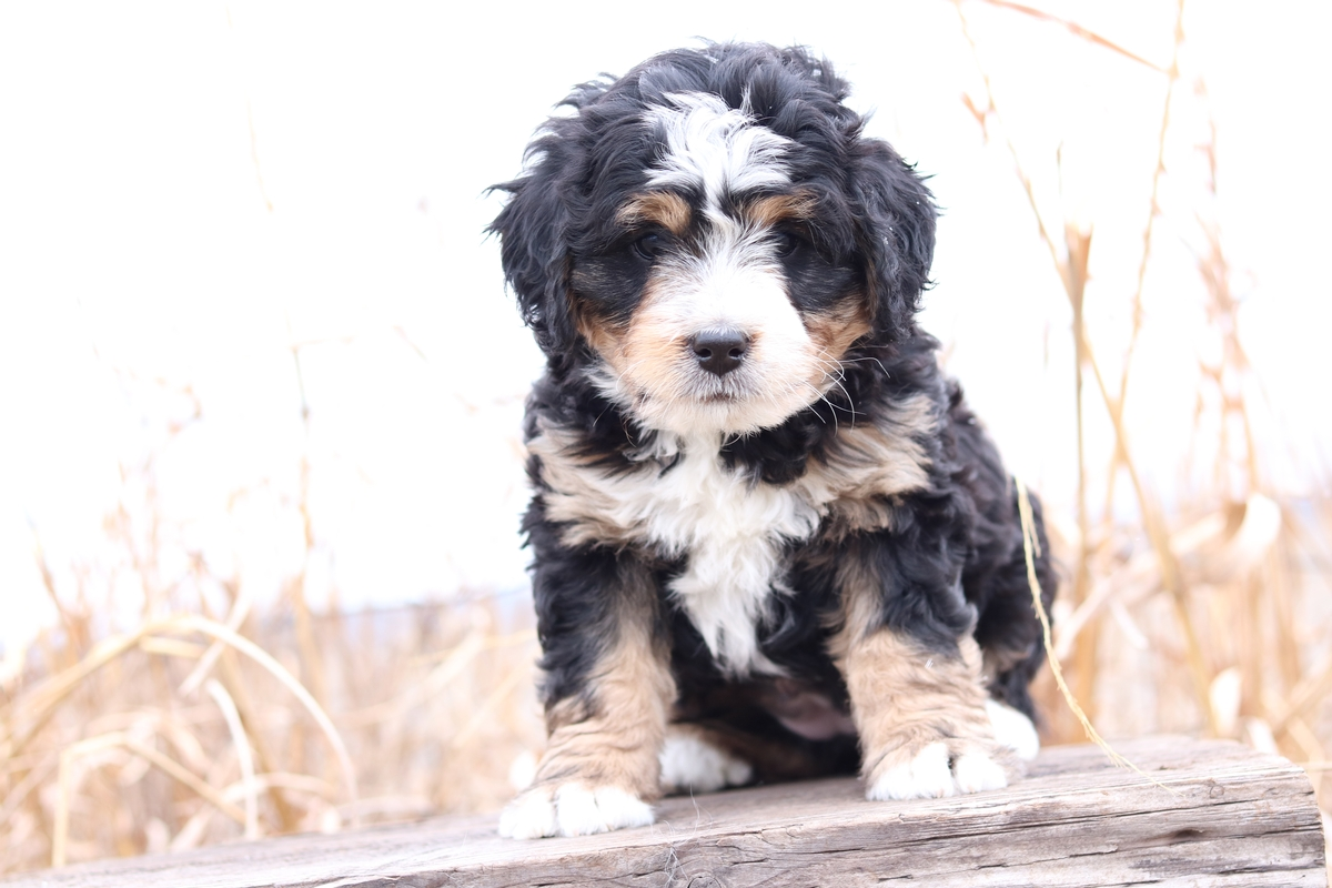 bernedoodle puppy photos