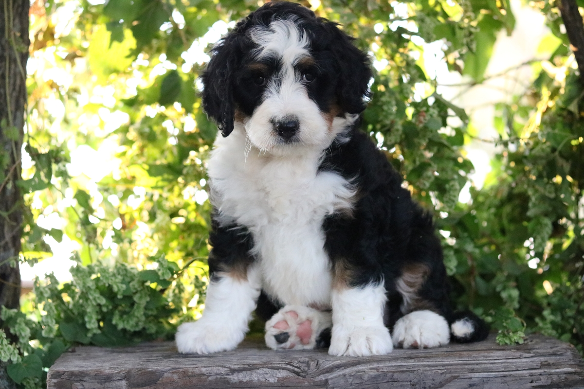 Bernedoodle Puppies for Free