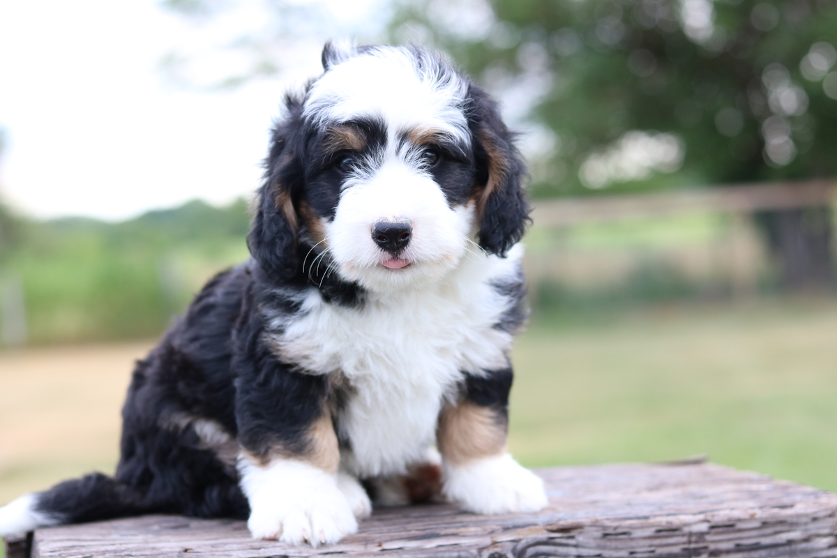 tri color mini bernedoodles for sale