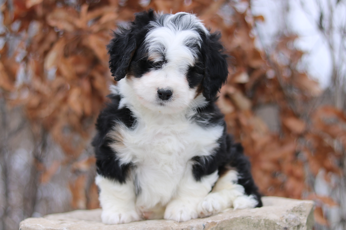 poodle puppies-Bernese Mountain dog puppies