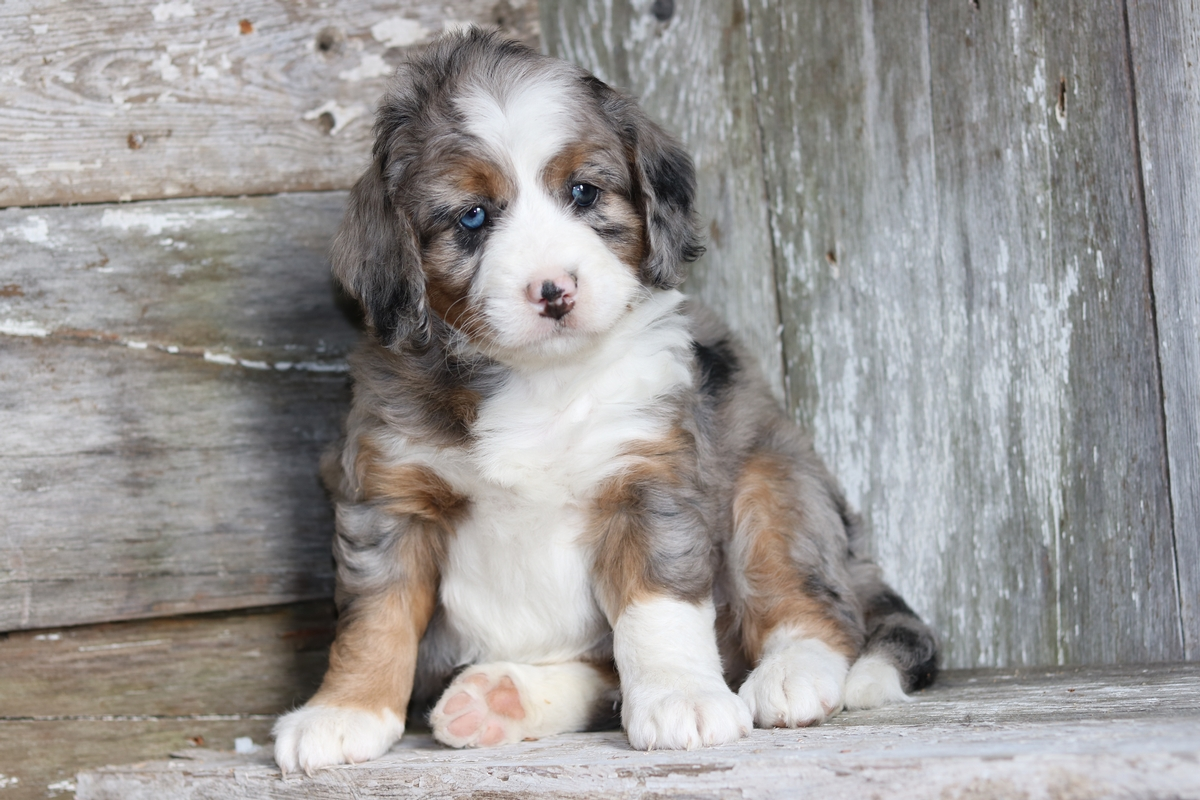 Mini Bernedoodle Breeder - Miniature Bernedoodle Puppies For