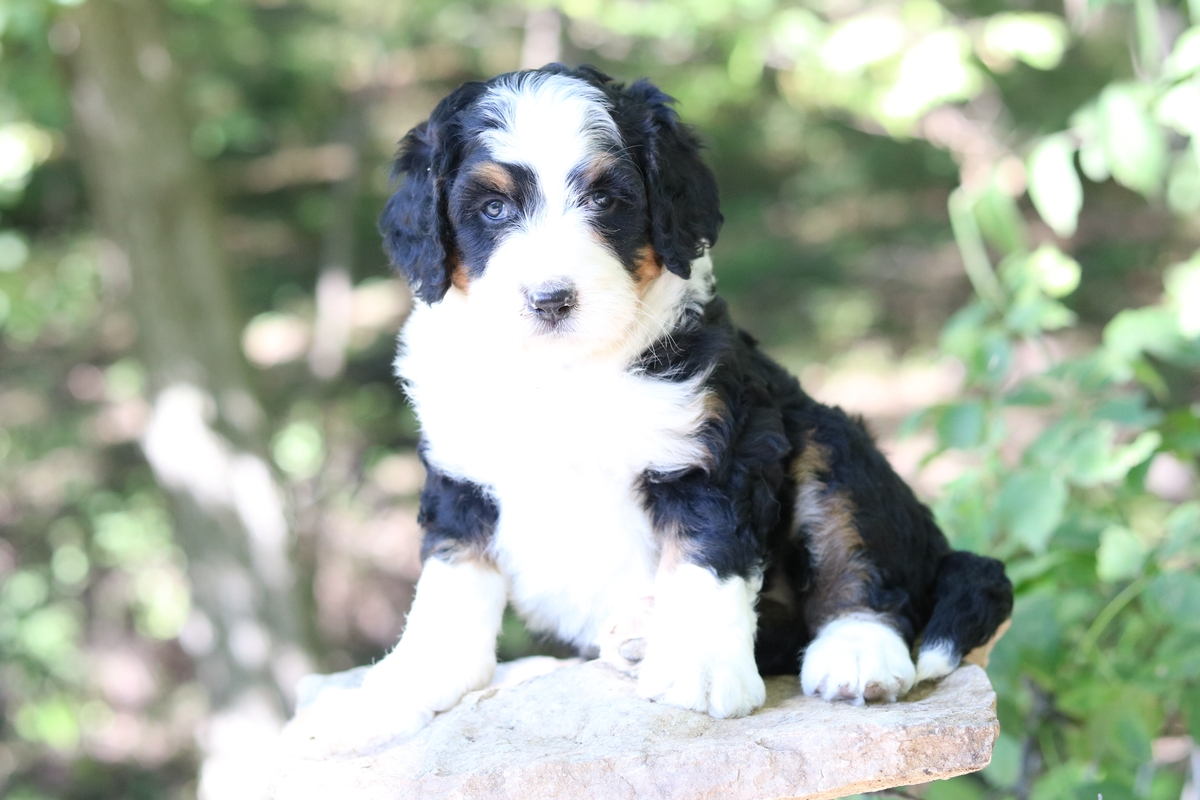 tri color standard bernedoodle puppy available