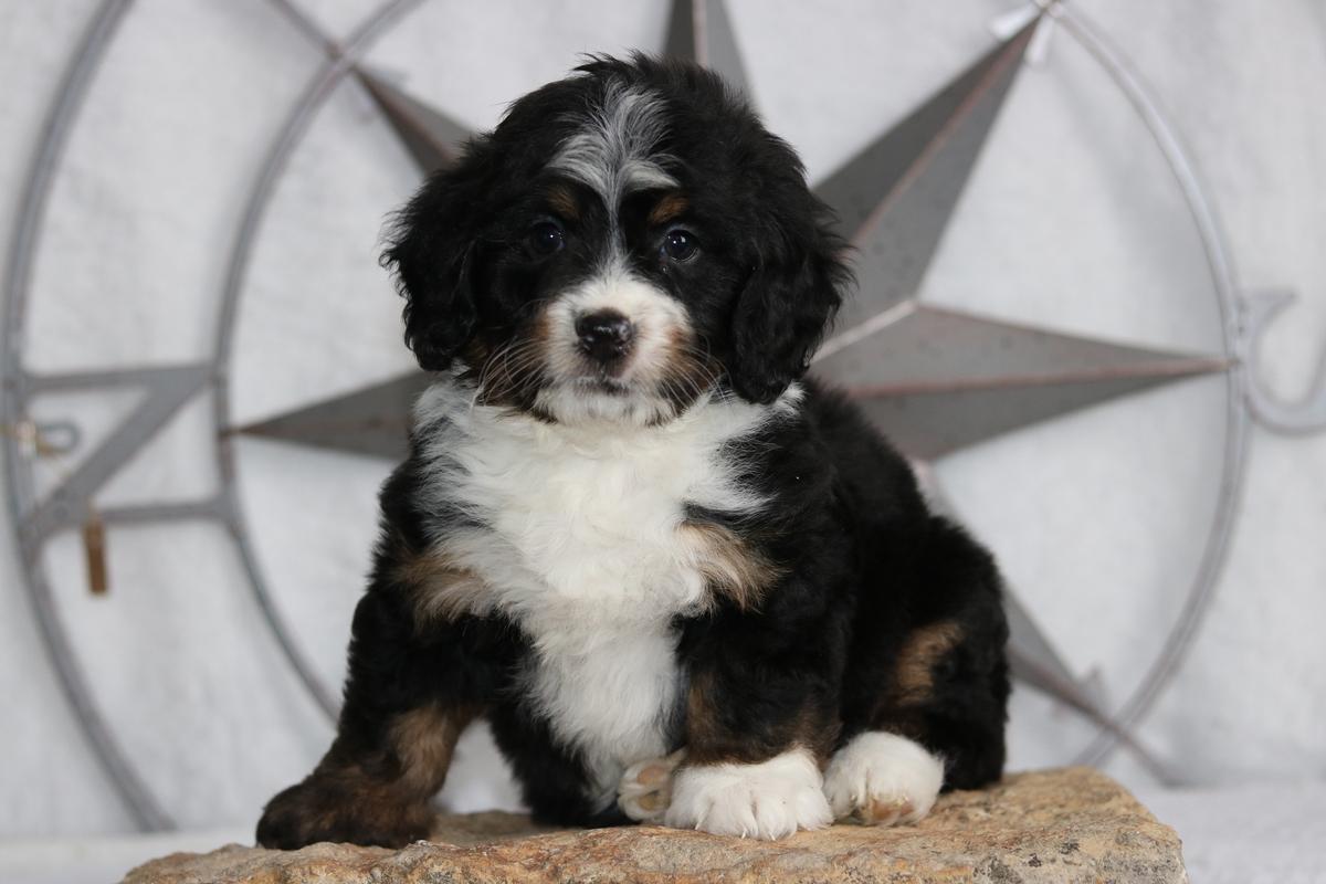 Mini Bernedoodle Breeder Miniature Bernedoodle Puppies For Sale
