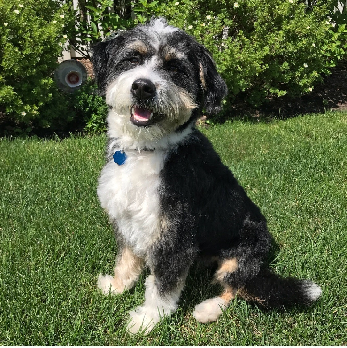pictures of mini bernedoodle adults
