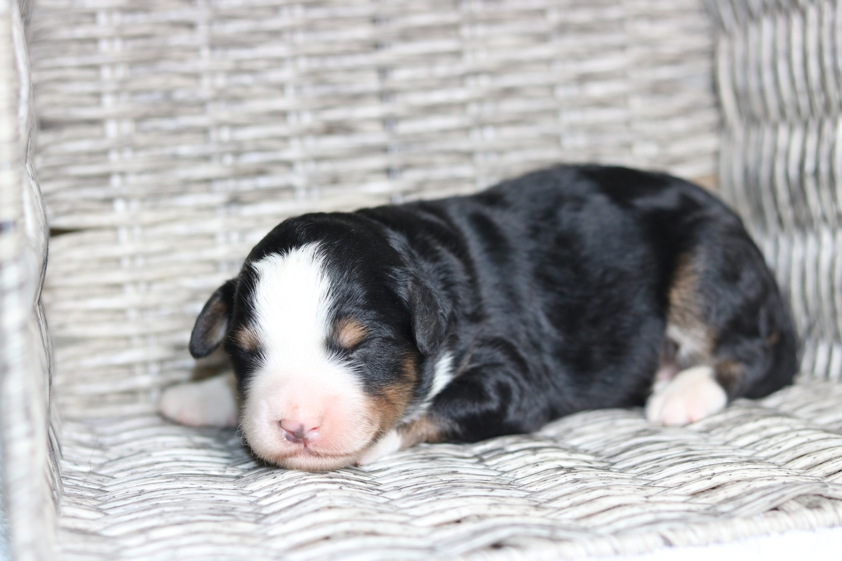 medium size bernedoodle puppies forsale