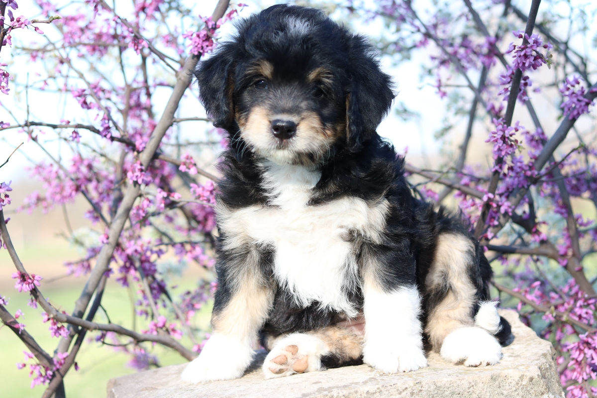 bernedoodle puppies available forsale