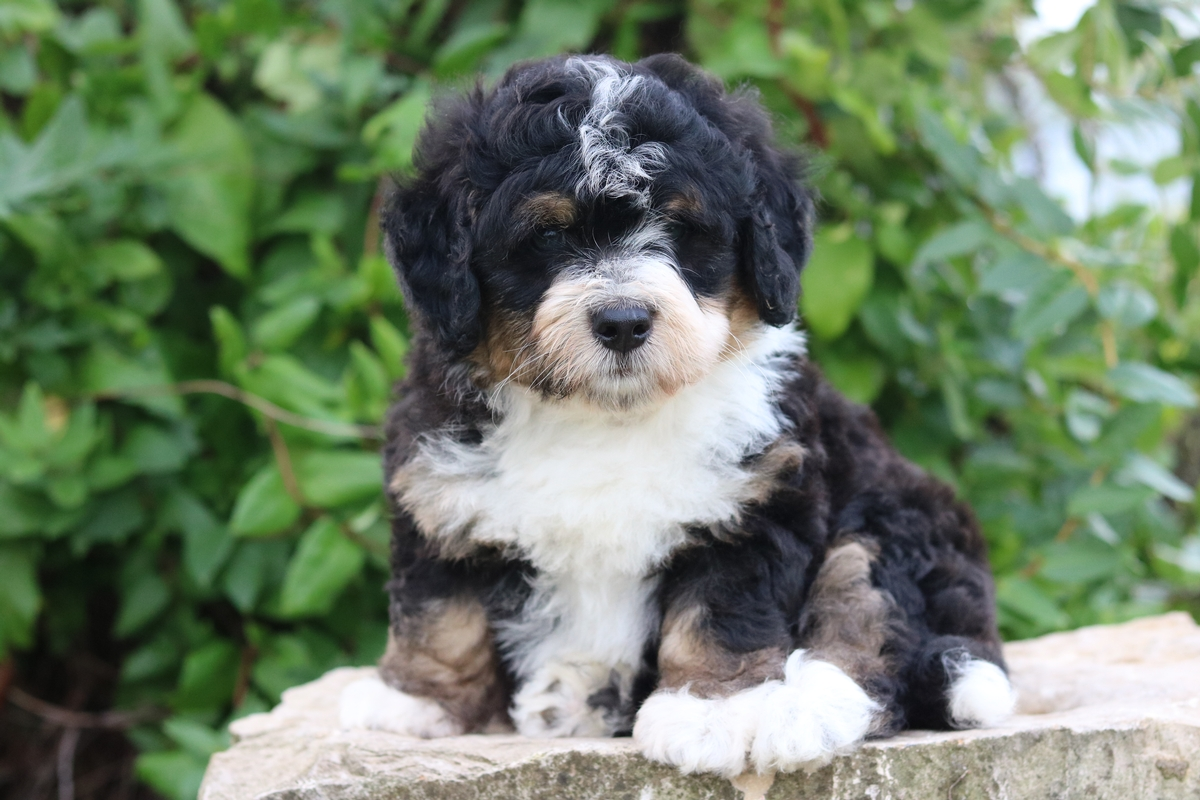 tri color - micro mini bernedoodle - puppies foresale