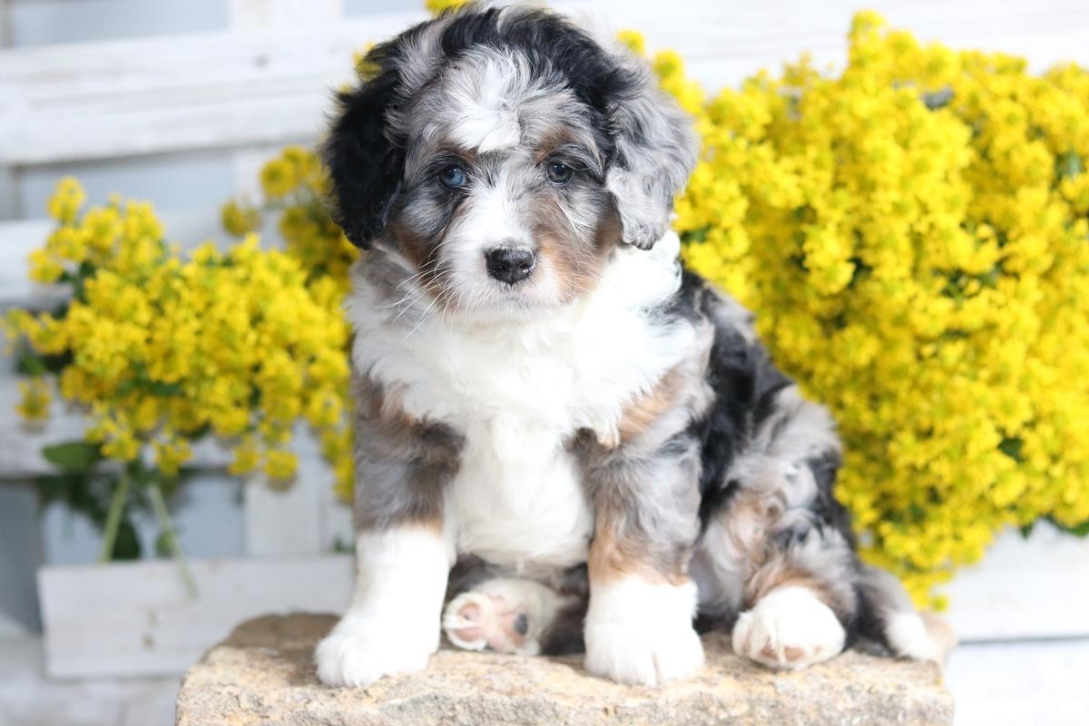 Mini Bernedoodle Breeder - Miniature Bernedoodle Puppies For
