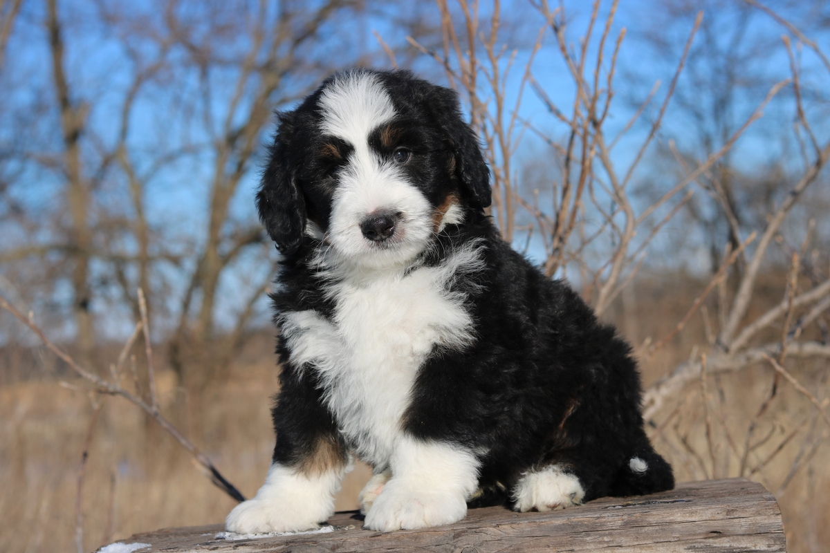 standard bernedoodle puppy photos