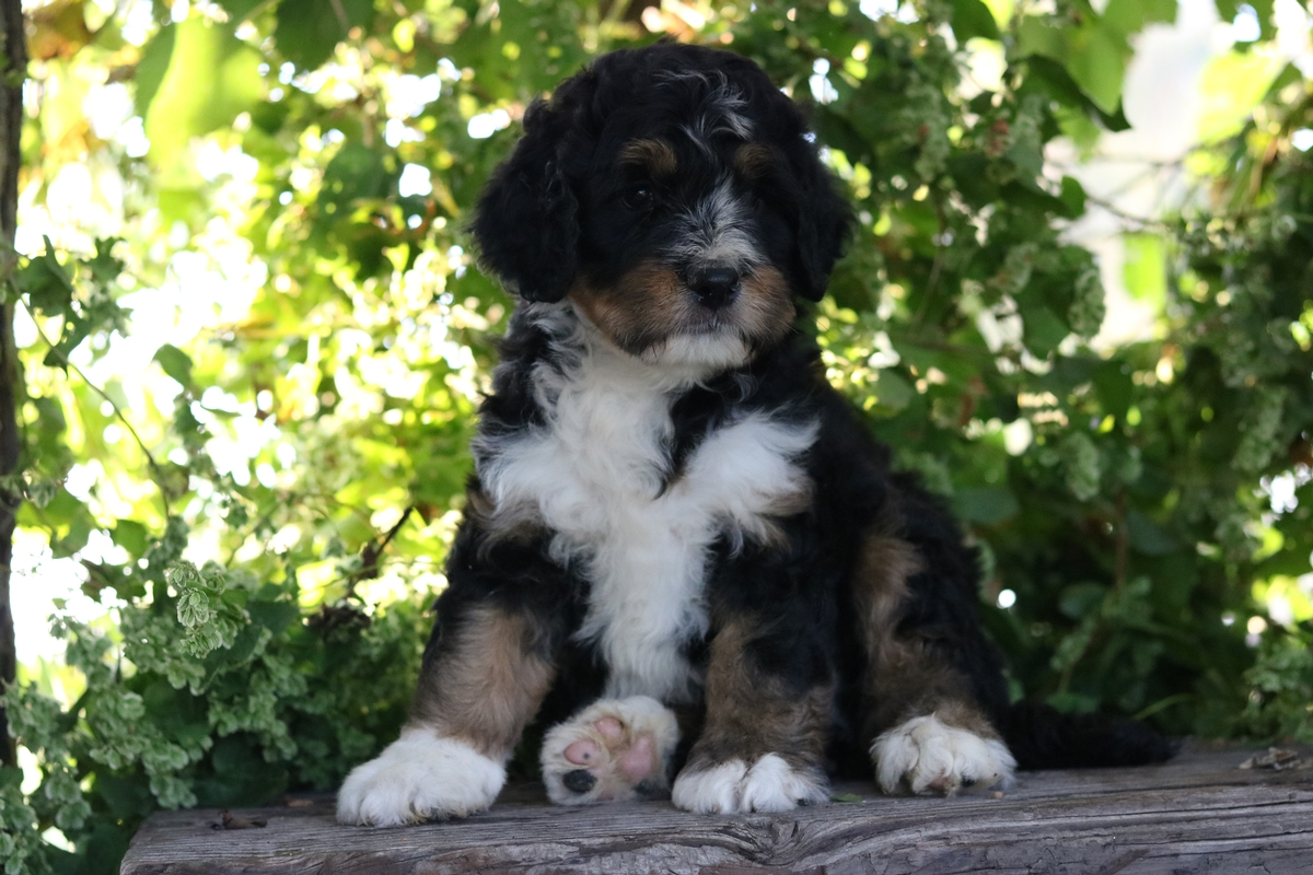 tri colored bernedoodle
