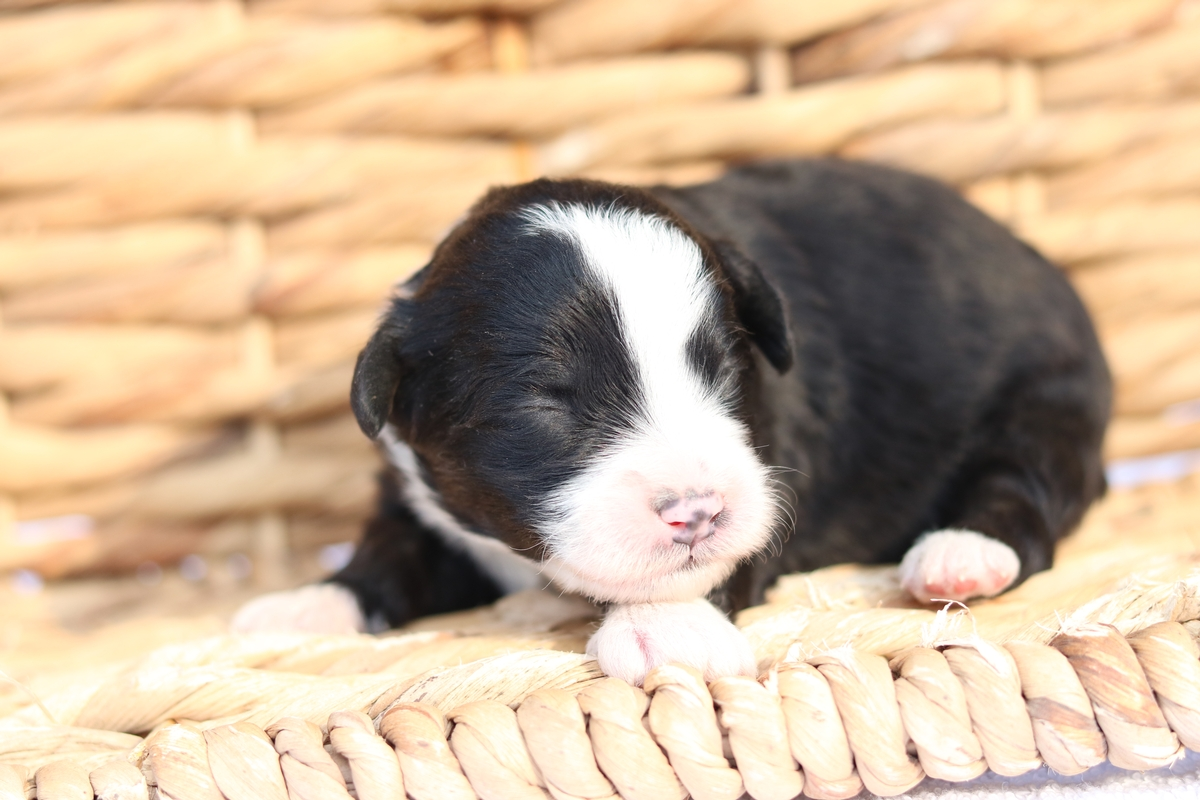 mini bernedoodles available forsale