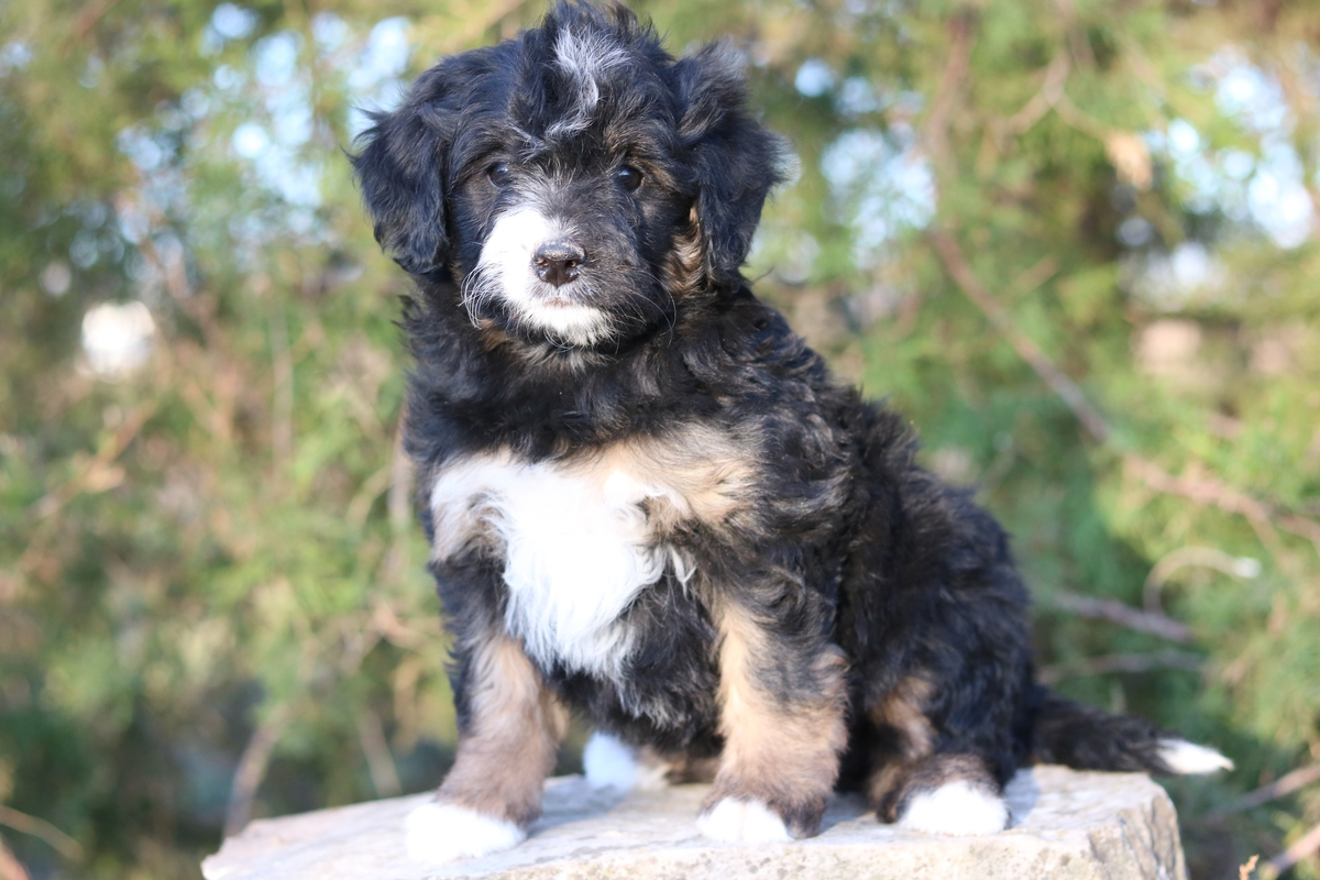 micro mini bernedoodle puppies