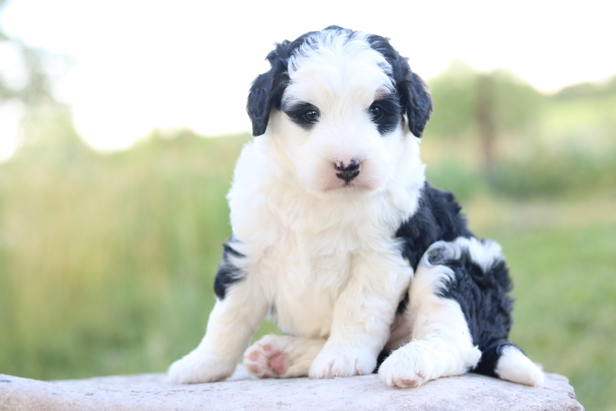 bi color mini bernedoodle puppy