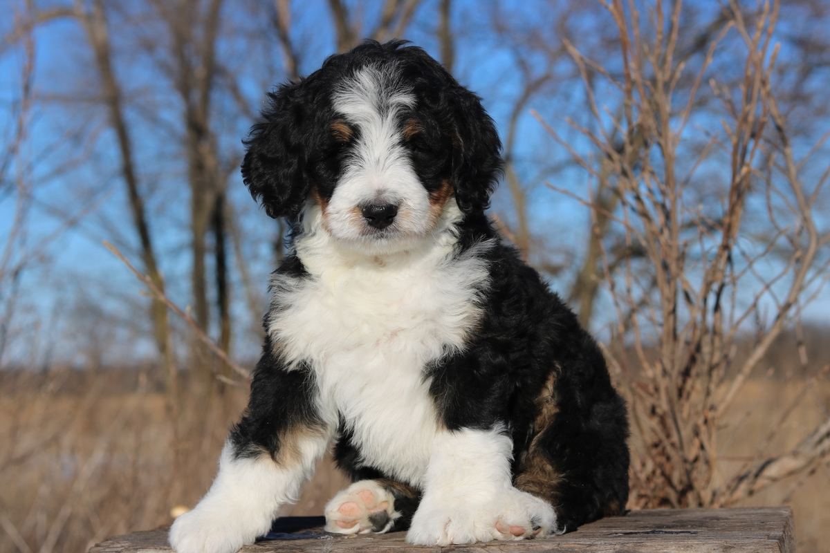 bernedoodle available photo