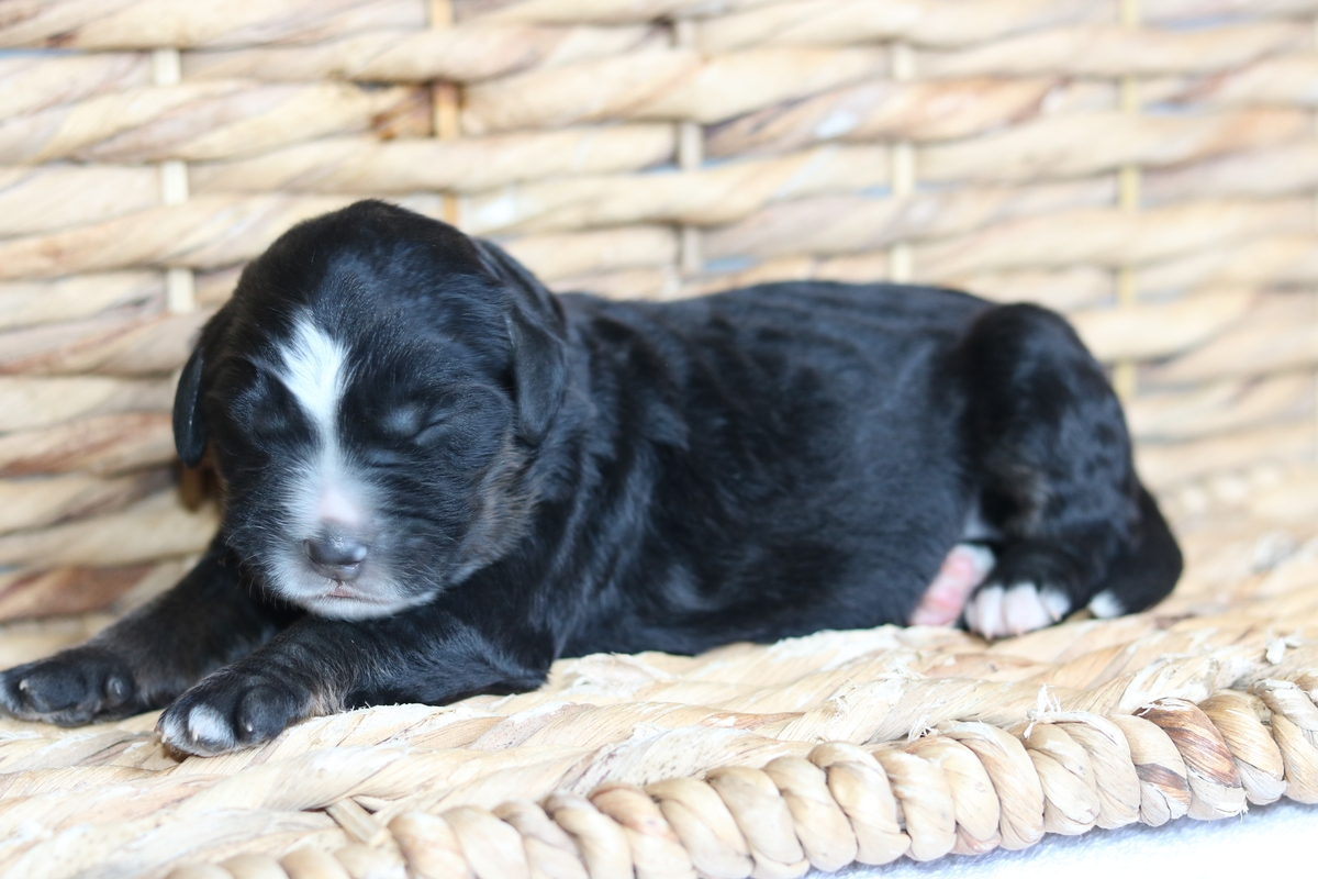 bernedoodle puppies available