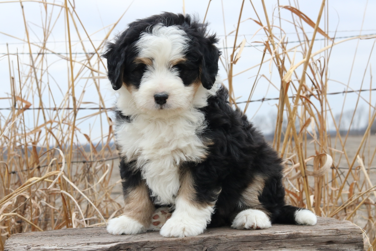 mini bernedoodle puppy available