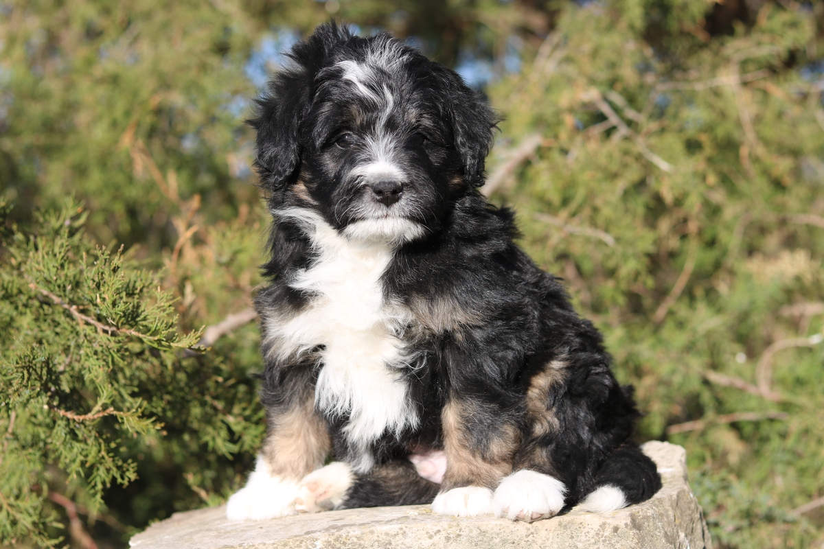 mini bernedoodle puppy