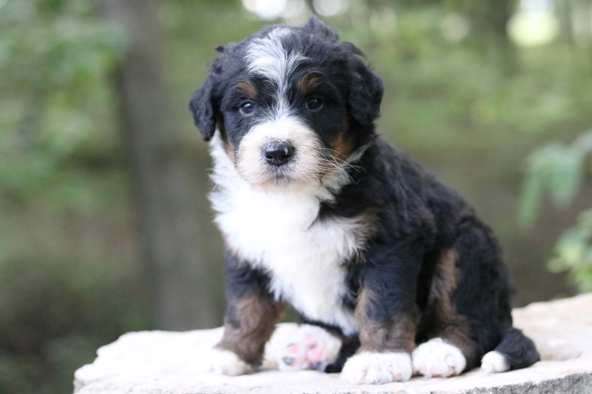 Bernedoodle puppies forsale