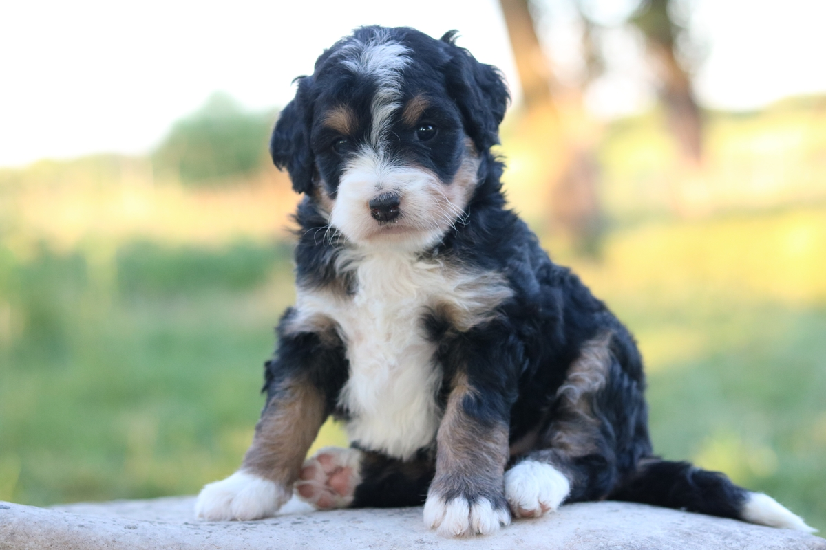 3 colored mini bernedoodle puppies