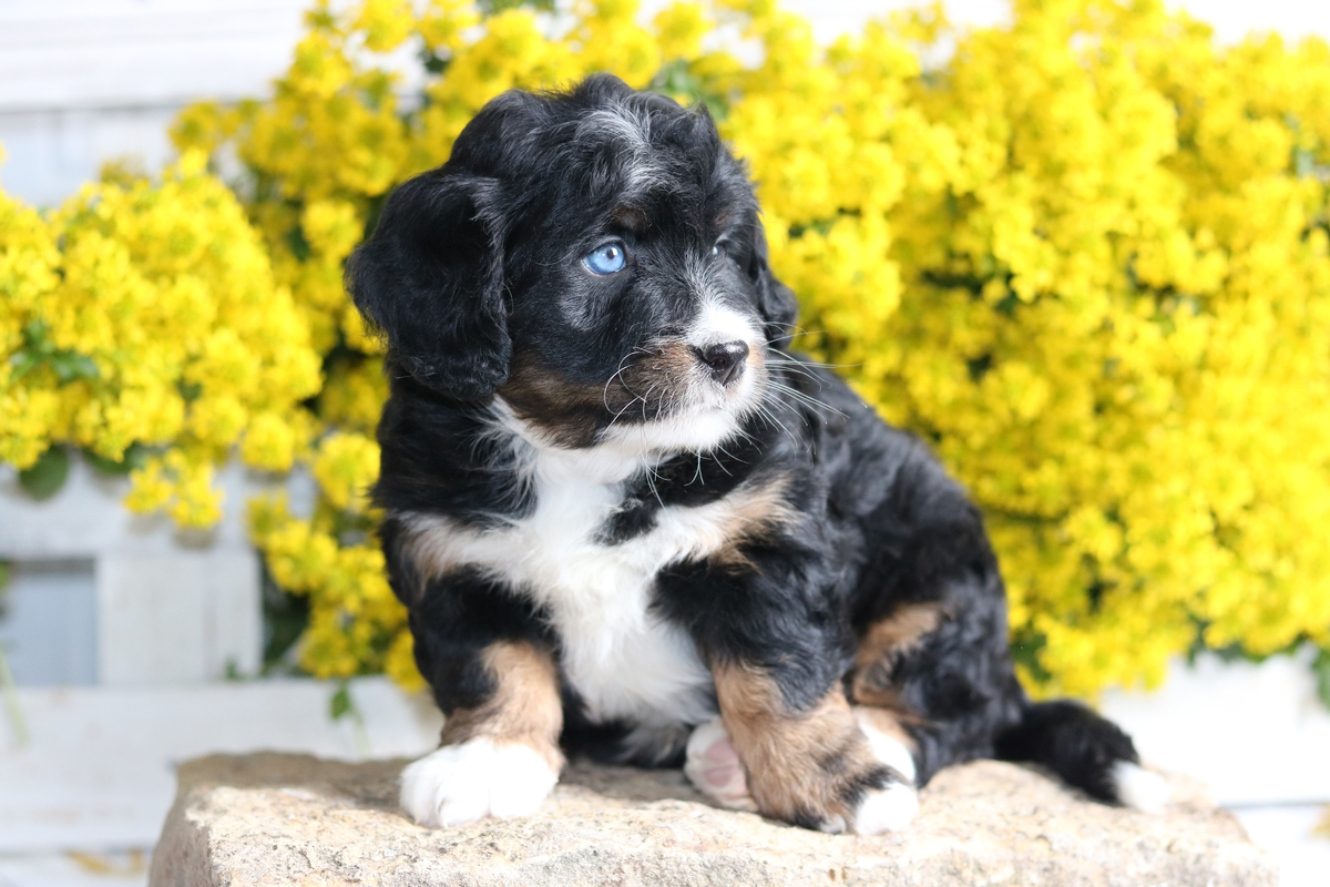 mini bernedoodle with blue eyes
