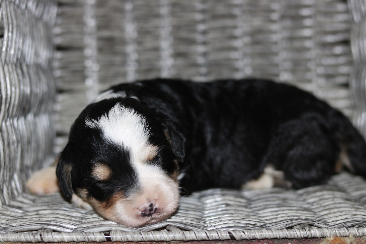 female miniature bernedoodle, tri color mini bernedoodle photo