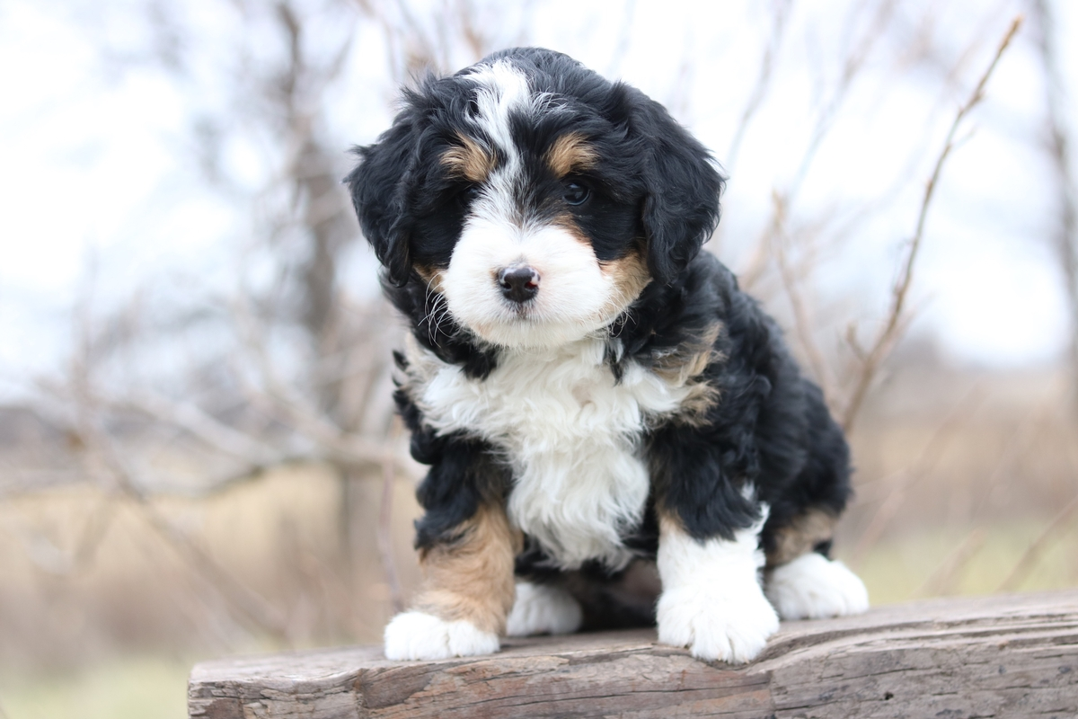 photograph bernedoodle puppy
