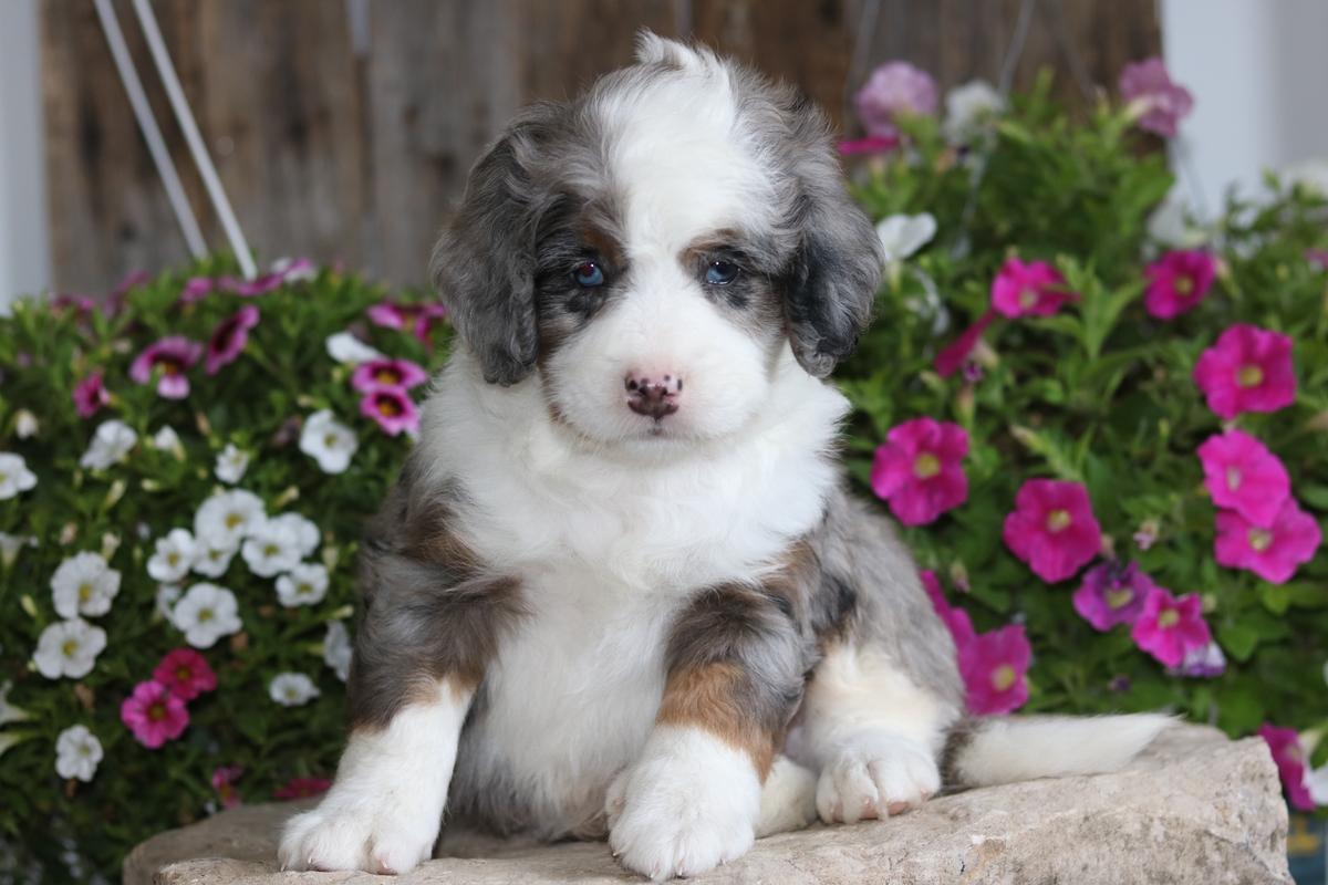 Mini Bernedoodle Breeder - Miniature Bernedoodle Puppies For Sale