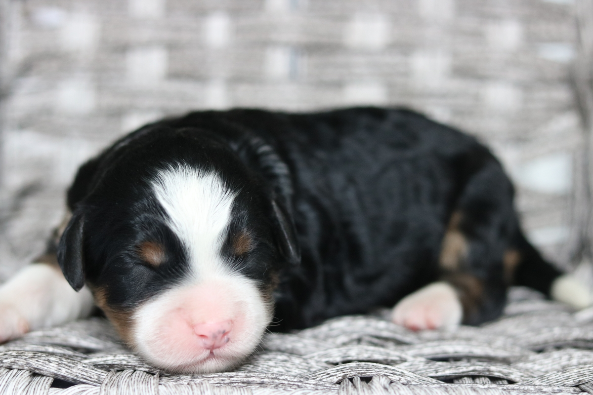 mini bernedoodle puppies forsale