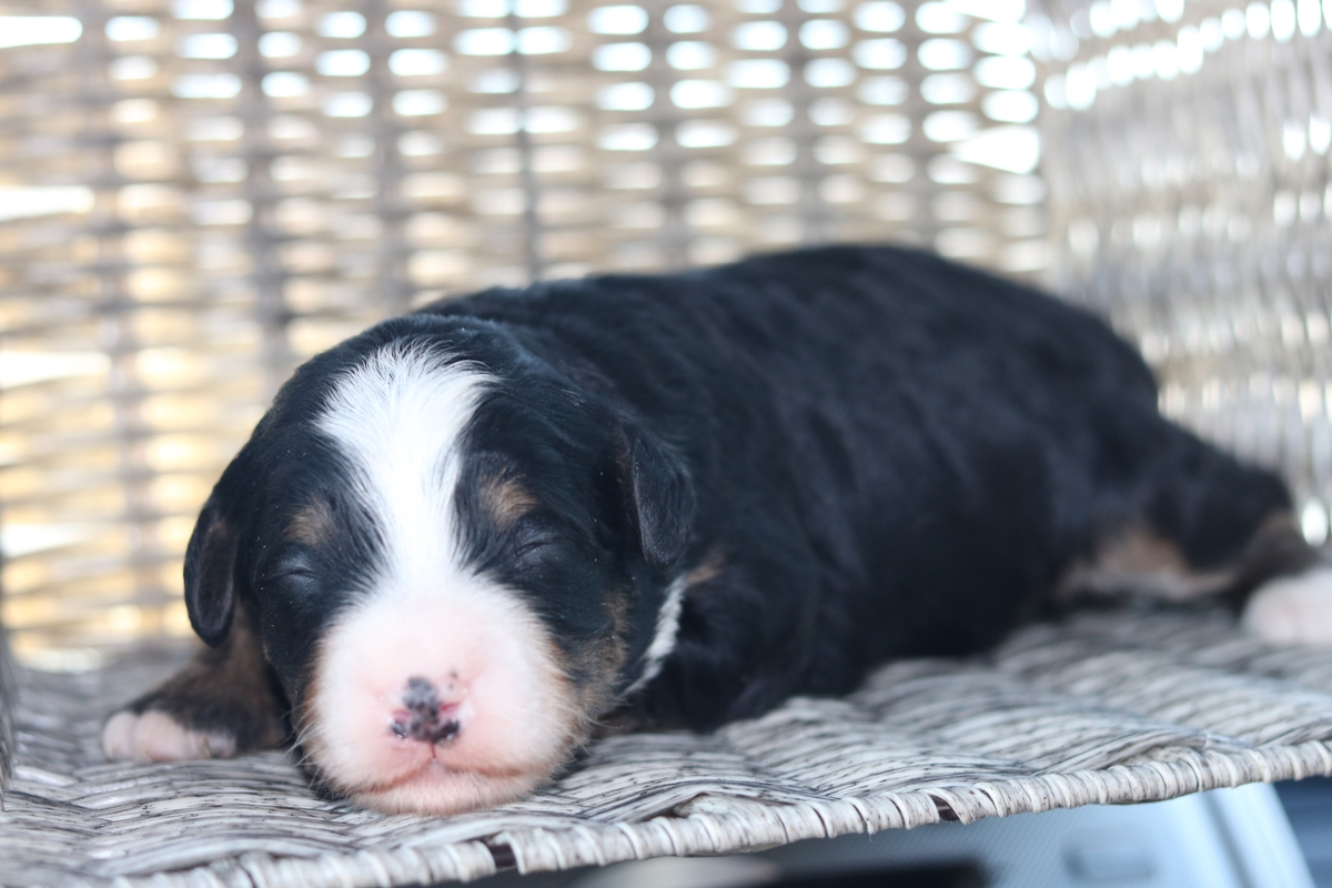 poodle - bernese mountain dog puppy