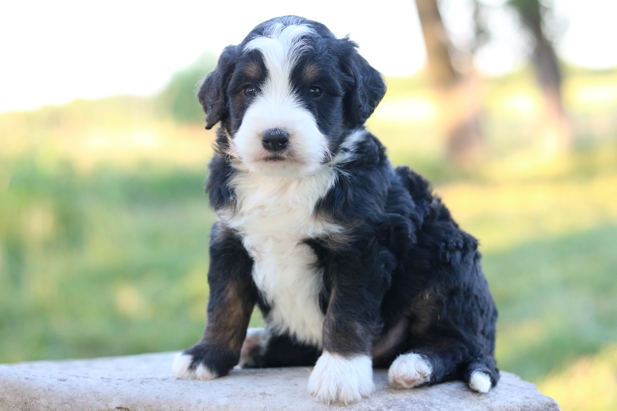 doodles - poodles - bernese mountain dog