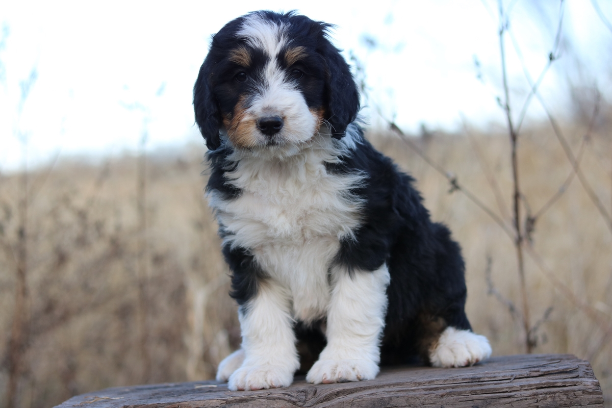 adorable puppy pictures . bernese mountain dog