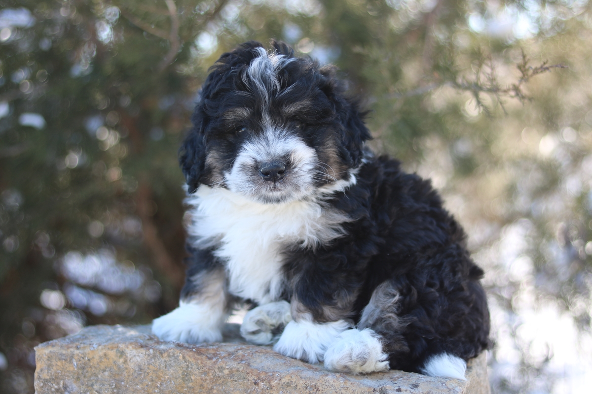 mini bernedoodle puppies