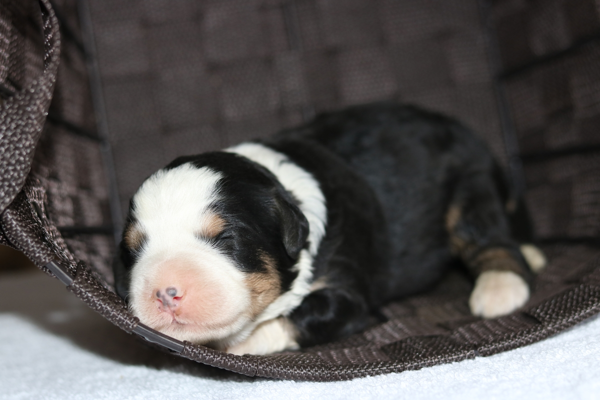 tri color timy bernedoodle female for sale