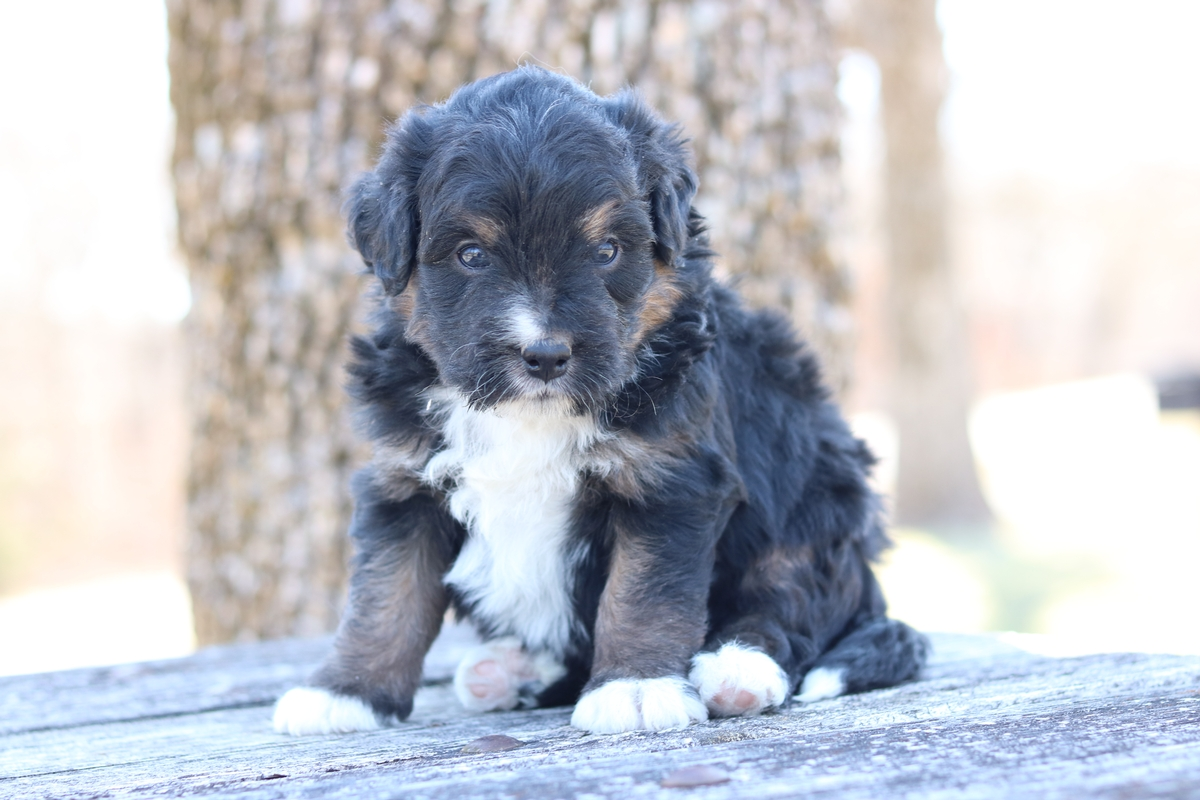 miniature bernedoodle puppy breeder